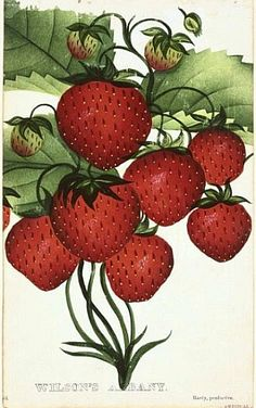Strawberries. From Nurseryman's Pocket Book of Specimen Fruit and Flowers, 1875.