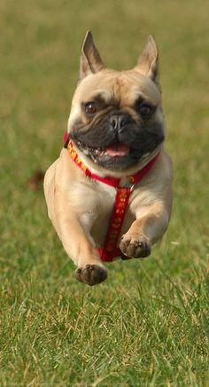 bulldog français | ... français nourriture pour bouledogue français bouledogue français