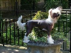Chinese Crested Dog - Lemiz Babette JW, Female hairless