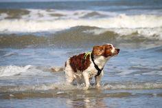 The sea ... so much fun for a Welsh Springer Spaniël. Copyright: Van Geerdersbeek Photography