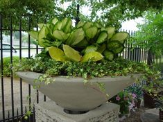 Big leaves-do you not love them? This severely contemporary v-shaped limestone  planter benefits from a planting of the paddle-leaved tropical plant dieffenbachia.  The pale yellow green leaves can dramatically lighten a very shady spot.  The yellow variegated ivy once established, I kept trimmed to the inside edge of the stone, as the container itself makes such a strong statement.