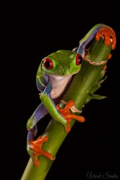 Frog Discover Its a Colorful Life Its a Colorful Life Gray Tree Frog, Red Eyed Tree Frog, Funny Frogs, Cute Frogs, Tree Frog Terrarium, Terrarium Diy, Animals Beautiful, Cute Animals, Wild Animals