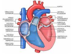 VARIEDADES: Reflexología del corazón y sistema circulatorio