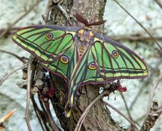 Of leprechaun coloring -  Spanish Moon Moth Graellsia isabellae