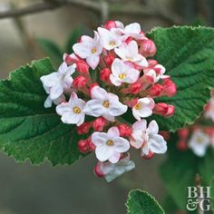 Viburnum is an all-around winner. Most varieties bloom in shades of pink and white, and many offer a wonderful fragrance or great fall foliage color. Name: Viburnum selections Growing Conditions: Full sun and well-drained soil Size: To 15 feet tall wide, depending on type Zones: 2-9, depending on type Here's a hint: Attract birds to your yard in summer with selections such as American cranberry viburnum, arrowwood, and doublefile viburnum.
