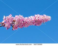 inflorescence japanese cherry blossoms and clear blue sky