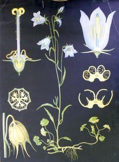 Kissankello - Ebba Masalin Otavan kirjapaino 1912 Illustration Blume, Vintage School, Nature Journal, Floral Illustrations, Graphic Design Posters, Vintage Travel Posters, Pictures To Paint, Gravure, Botanical Art