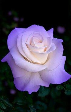 Flowers Purple Roses New Ideas Beautiful Flowers Wallpapers, Beautiful Rose Flowers, Unusual Flowers, Pretty Roses, Flowers Nature, Amazing Flowers, Pretty Flowers, Flower Images, Flower Pictures