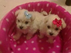 Maltese miniature poodle puppies for sale. They are inoculated and dewormed with their vet card. Puppies are eight weeks old and ready to meet their new parents. Very cute little white puppies.