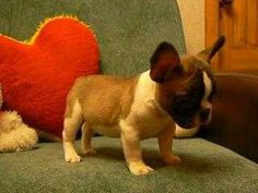 Fawn Tea Cup French Bulldog Puppy