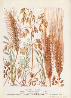 Kitchen Decor, Botanical Illustration, Vintage Art Print, Grains, Rye, Barley, Oats