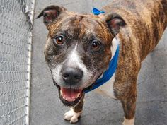 ~HANDSOME 8 YR OLD SENIOR TO BE DESTROYED - 07/31/14~~ Manhattan Center -P  My name is BINKS. My Animal ID # is A1007582. I am a male br brindle and white pit bull mix. The shelter thinks I am about 8 YEARS old.  I came in the shelter as a OWNER SUR on 07/22/2014 from NY 10462, owner surrender reason stated was OWN EVICT.