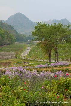 "Doi Angkhang - Thailand  ""The road in the garden"""
