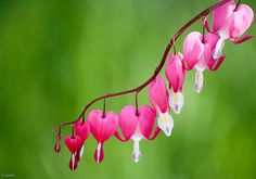 Minimal by .vpeter, via Flickr Future Tattoos, Love Tattoos, I Tattoo, Bleeding Heart Flower, Bleeding Hearts, Losing Friends, Winter Springs, Flower Photos, Amazing Flowers
