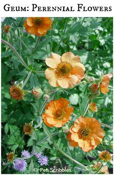 Geum: pretty perennial flowers for your garden!