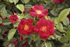 Thrive!® is a vibrant red landscape shrub rose. | Star Roses & Plants