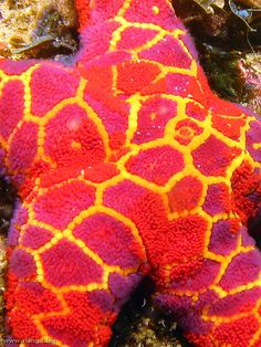 I know this isn't a quilt, but my goodness it could be!    Mosaic Sea Star (Plectaster decanus)