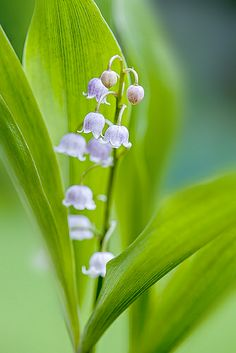 Lily of the valley by Jacky Parker Floral Art, via Flickr