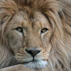 really enjoyed observing the lion, still one of my favorite lions Jungle Animals, Animals And Pets, Cute Animals, Wild Animals, Lynx, Big Cats, Cool Cats, Beautiful Creatures, Animals Beautiful