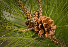 Red Pine - Cone
