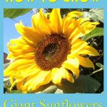How To Grow Giant Sunflowers