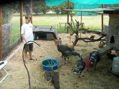 http://www.backyardchickens.com/forum/uploads/41721_turkey_g.jpg