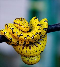 Green tree python. They are born normally yellow or red later losing this color. - via Jean-Pierre Truant