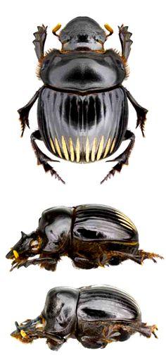 Dichotomius annae, male and female