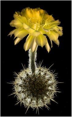Echinopsis hybrid cactus 'Consolation'