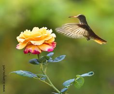 Getting some sweets - brown, flower, green, hummingbird, orange and yellow, wings