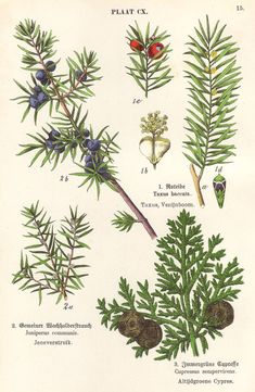 Fir pine conifer 1906 botanical print  Juniper by PaperThesaurus