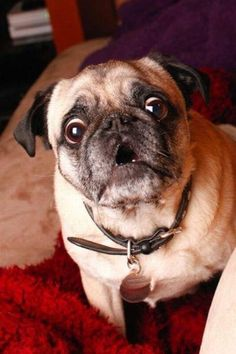 Pugs have a variety of facial expressions. For that reason, pug memes are funny and I hope these 101 dog memes featuring pugs bring a smile to your day! Funny Animal Memes, Dog Memes, Funny Dogs, Funny Animals, Cute Animals, Funny Memes, Hilarious, Silly Dogs, Animals Dog