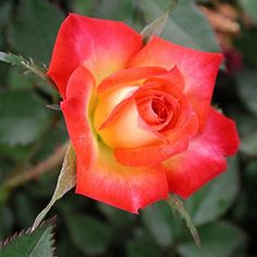 Fireworks ~ Miniature Rose