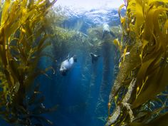 """""""Seals In A Kelp Forest"""" by Kyle Mcburnie"""