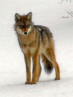 Coyote: Cal's Patronus.