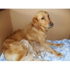 Golden Retriever Dogs For Adoption In Pa