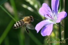 Honigbiene beim Anflug - Flying honey bee Insects, Animals, Honey Bees, Bees, Nature, Animaux, Animal, Animales, Animais