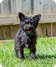 Lodi, CA - Yorkie, Yorkshire Terrier/Poodle (Toy or Tea Cup) Mix. Meet Jasper, a dog for adoption. http://www.adoptapet.com/pet/15822319-lodi-california-yorkie-yorkshire-terrier-mix