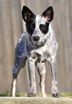 Australian cattle dog is a breed of herding dog originally developed in Australia for driving cattle over long distances across rough terrain. In the 19th century, New South Wales cattle farmer Thomas Hall crossed the dogs used by drovers in his parents' home county, Northumberland, with dingoes he had tamed. The resulting dogs were known as Halls Heelers