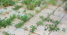 Landscape Design Guru: Polymeric Sand: Controlling Weeds Between Pavers Garden Weeds, Iris Garden, Garden Plants, Polymeric Sand, Paver Sand, Backyard Paradise, Brick Patios, Small Gardens, Growing Plants