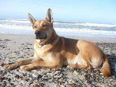 Carolina Dog/American Indian Dingo... Looks just like my baby Fox :)