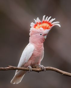Major Mitchell's Cockatoo - Lophochroa leadbeateri; is a small largely white cockatoo with pink on the sides of of its head. This species is found in inland arid areas of southeast Queensland, New South Wales, Victoria and Western Australia. Photo by. Cute Birds, Pretty Birds, Beautiful Birds, Animals Beautiful, Tropical Birds, Exotic Birds, Colorful Birds, Animals And Pets, Cute Animals