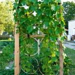 Bicycle wheel trellis for gourds.  <3
