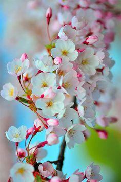 20 Trendy Ideas For Sakura Tree Wallpaper Flower Exotic Flowers, Amazing Flowers, Pretty Flowers, White Flowers, Flower Backgrounds, Flower Wallpaper, Tree Wallpaper, Nature Wallpaper, Flower Meanings