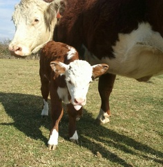 Baby Macky Barnyard Animals, Baby Cows, Hereford, Farm Life, Cattle, Pigs, Farms, Calves, Favorite Things