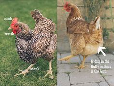 A Practical Guide to Keeping Chickens - Chickens 101