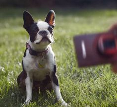 Boston Terriers In Commercials: Canon Powershot