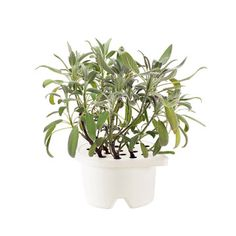 Garden Sage Refill, $17, now featured on Fab.