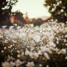 White Flowers  by liz.rusby, via Flickr