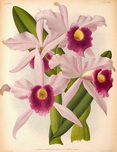 A Cattleya purpurata, popularmente conhecida como Laelia purpurata, é uma orquídea endêmica do sul e sudeste do Brasil.  http://sergiozeiger.tumblr.com/post/98628063963/a-cattleya-purpurata-popularmente-conhecida-como  Suas flores de coloração branca e púrpura são muito apreciadas.